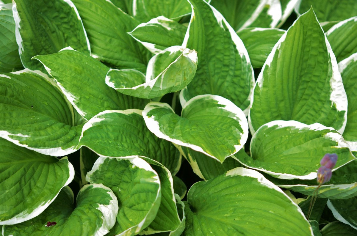 Liven up an area with the large white bordered leaves on this hosta.