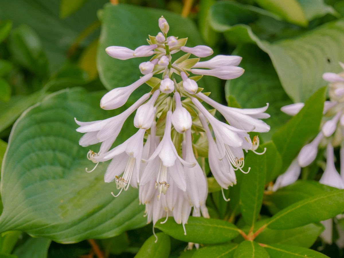 Many hosta have attractive spikes of blooms.