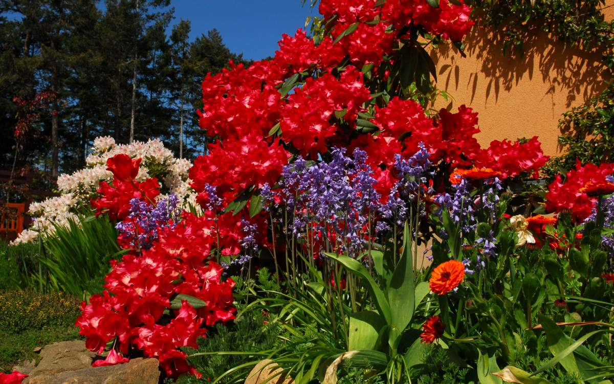 Rhododendrons and Blue Squill