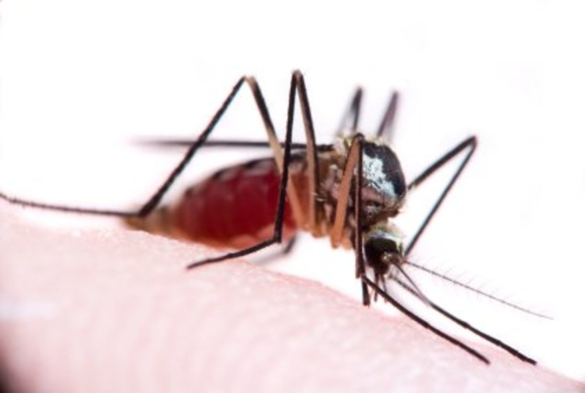 mosquito-facts