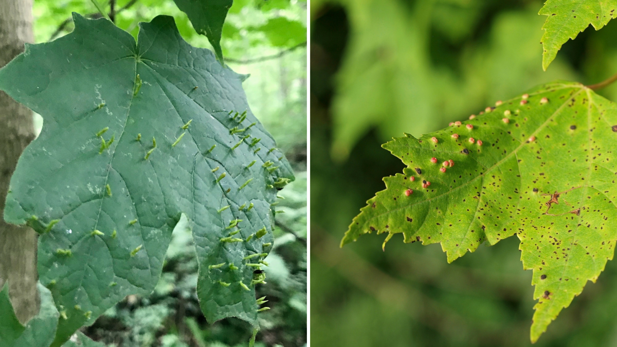 Maple spindle gall (left) and maple bladder gall (right) are common cosmetic issues that plague maples.