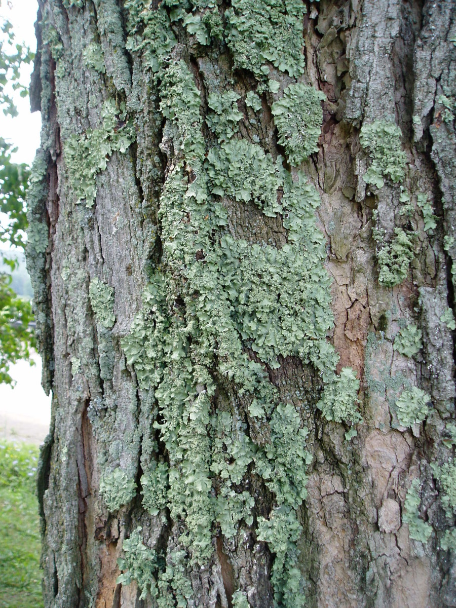 Lichens on a maple tree.  Photo by Charlotte Gerber.