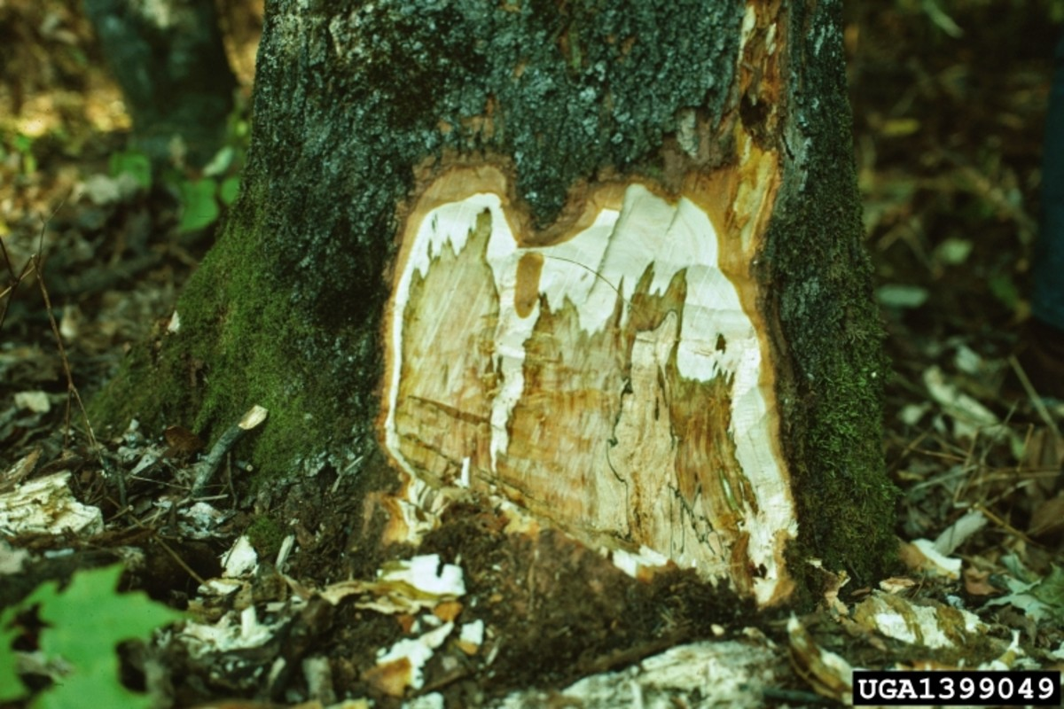 Sapstreak isn't easy to catch because it mainly affects the inside of the tree.