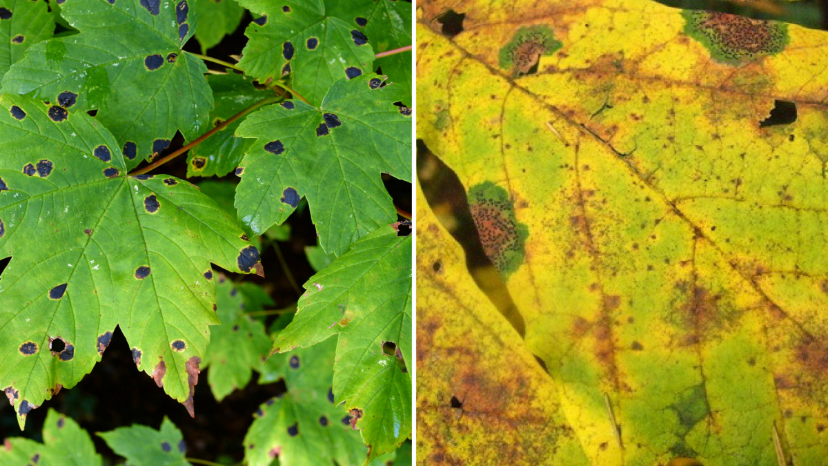 Two examples of tar leaf on a maple.