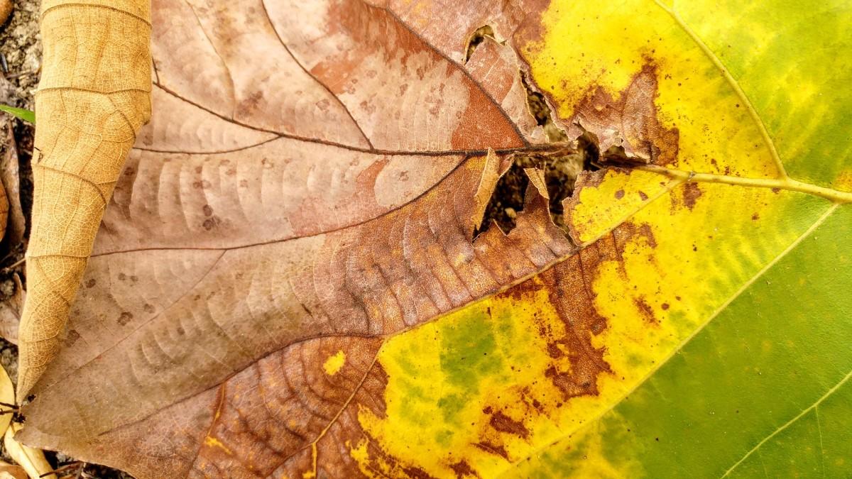 Maple leaf scorch