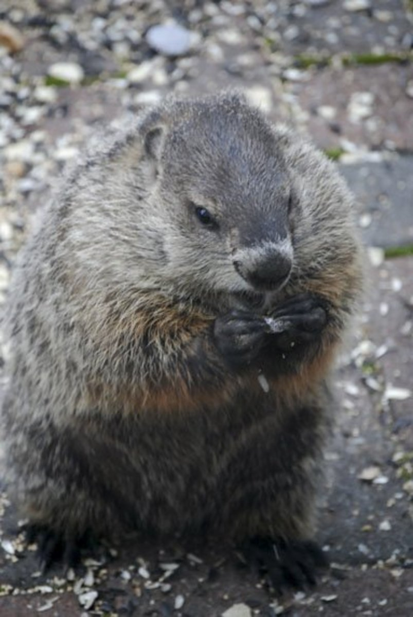 How to Safely Trap and Release Groundhogs, Possums, and Other Native Animals