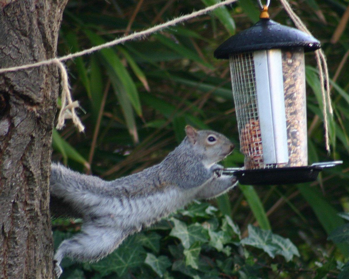 Typical Squirrel Attack on a Bird Feeder