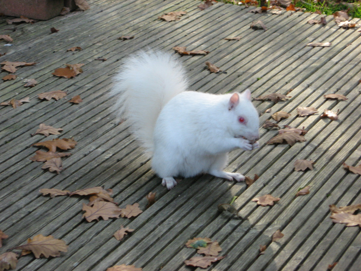Just to show you that I too have a soft spot for them, I've included a shot of one of our local albino squirrels eating a nut I kindly provided!