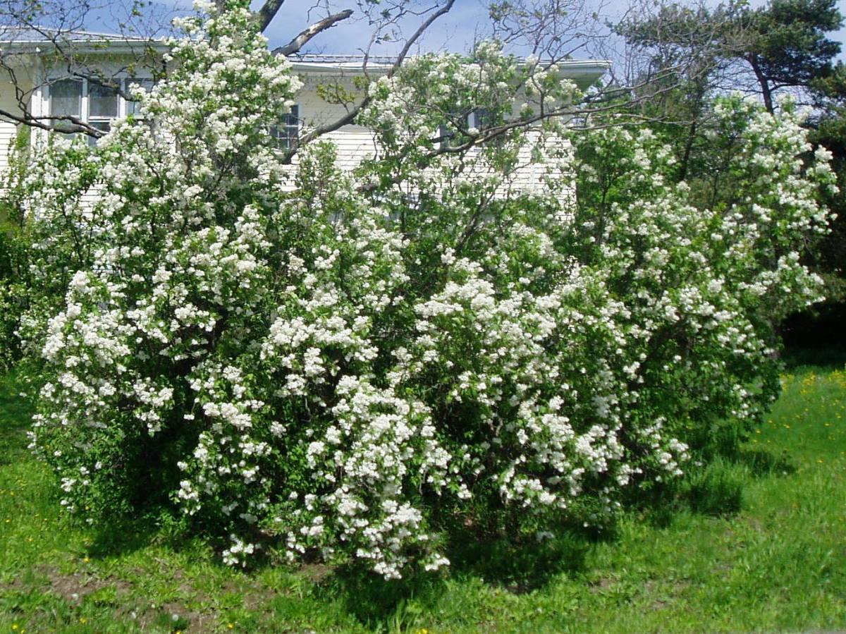 Well established white lilac bush- could use a little pruning and shaping for the next year.
