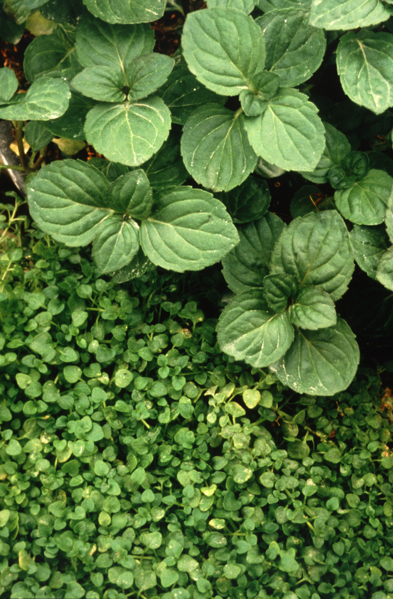 fastest-growing-hydroponics-plants