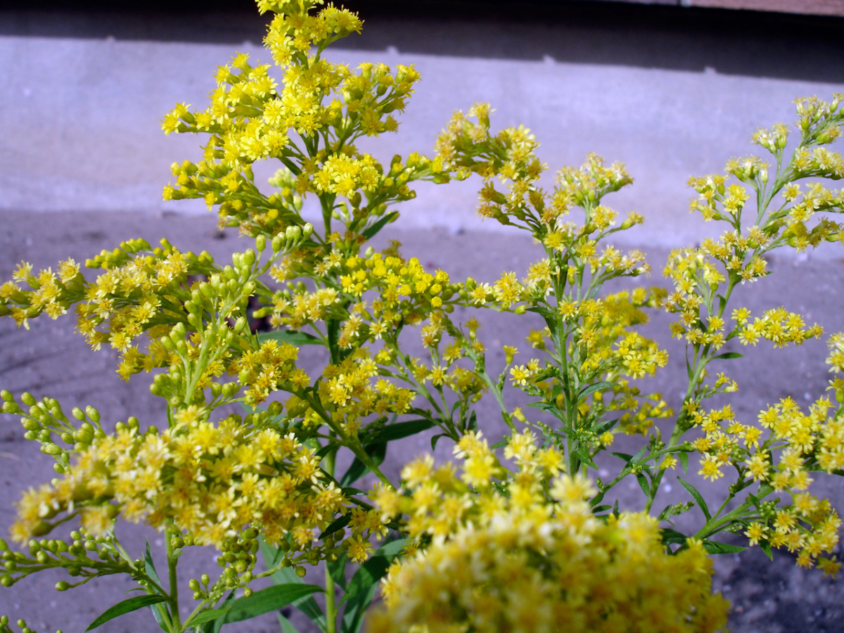 Solidago or Goldenrod