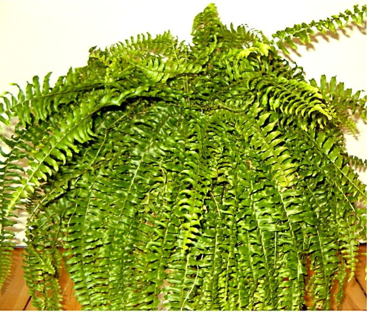 The Boston Fern is one of the most popular house plants.