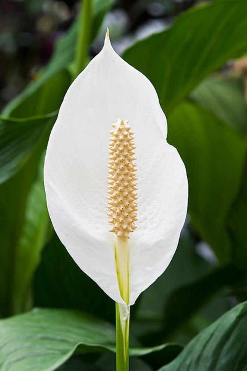 The Peace Lily is beautiful and also takes contaminants like benzene and formaldehyde out of the air.