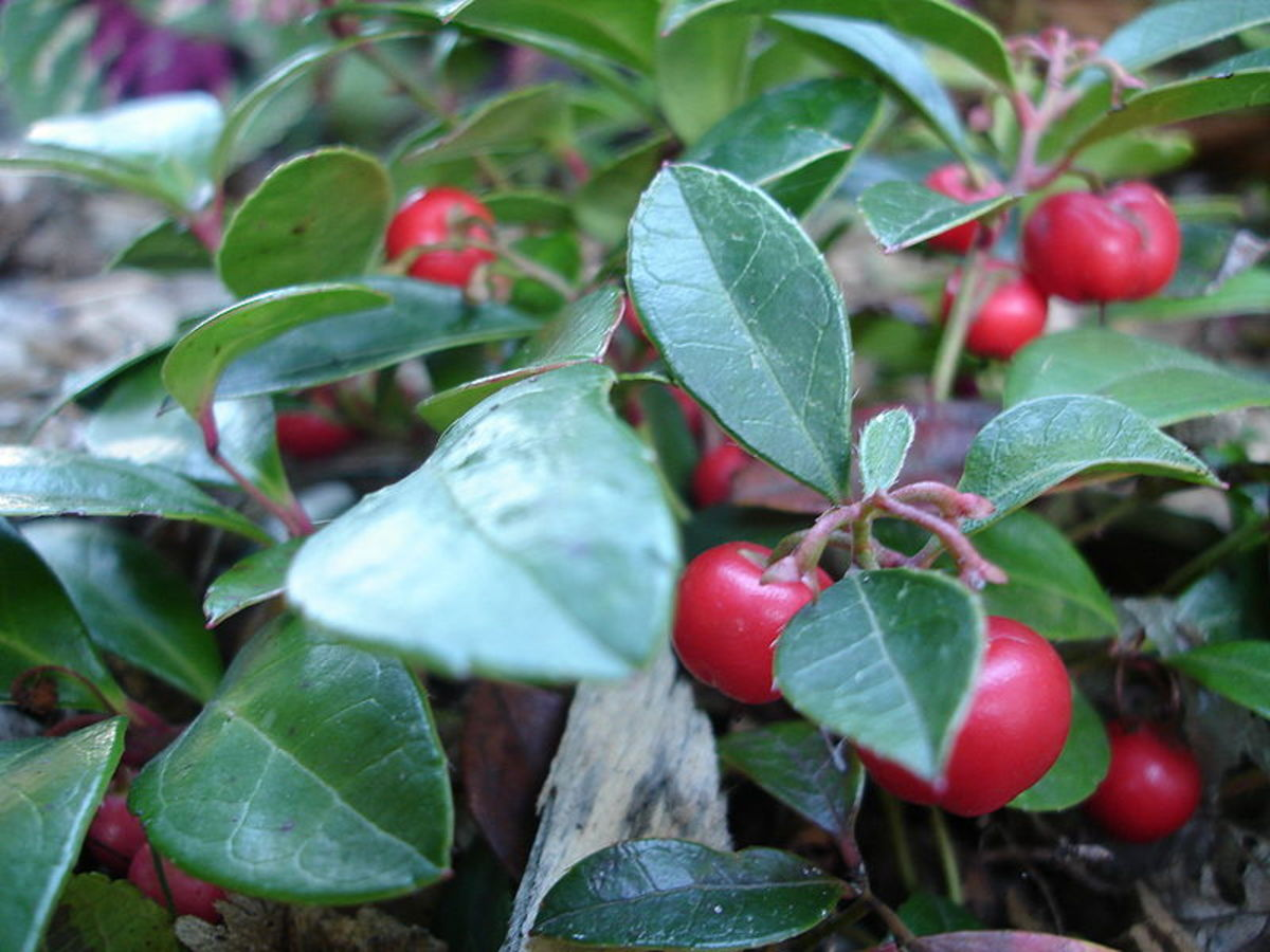 """Wintergreen"" Gaultheria procumbens"