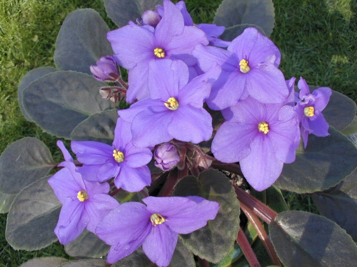 """African Violet"" Saintpaulia ionantha"
