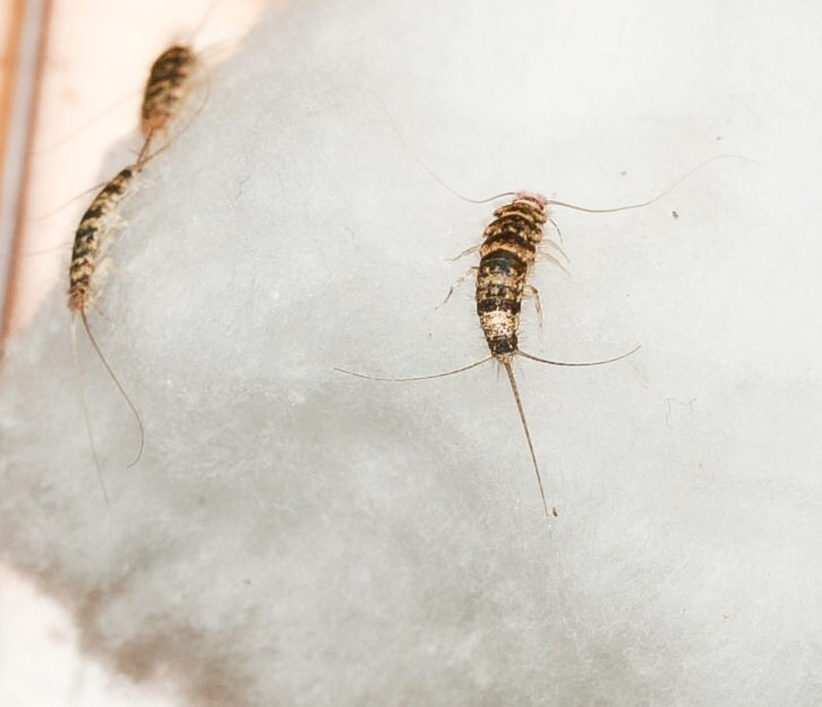 Silverfish: Life Cycle, Effects, and Pest Control | Dengarden