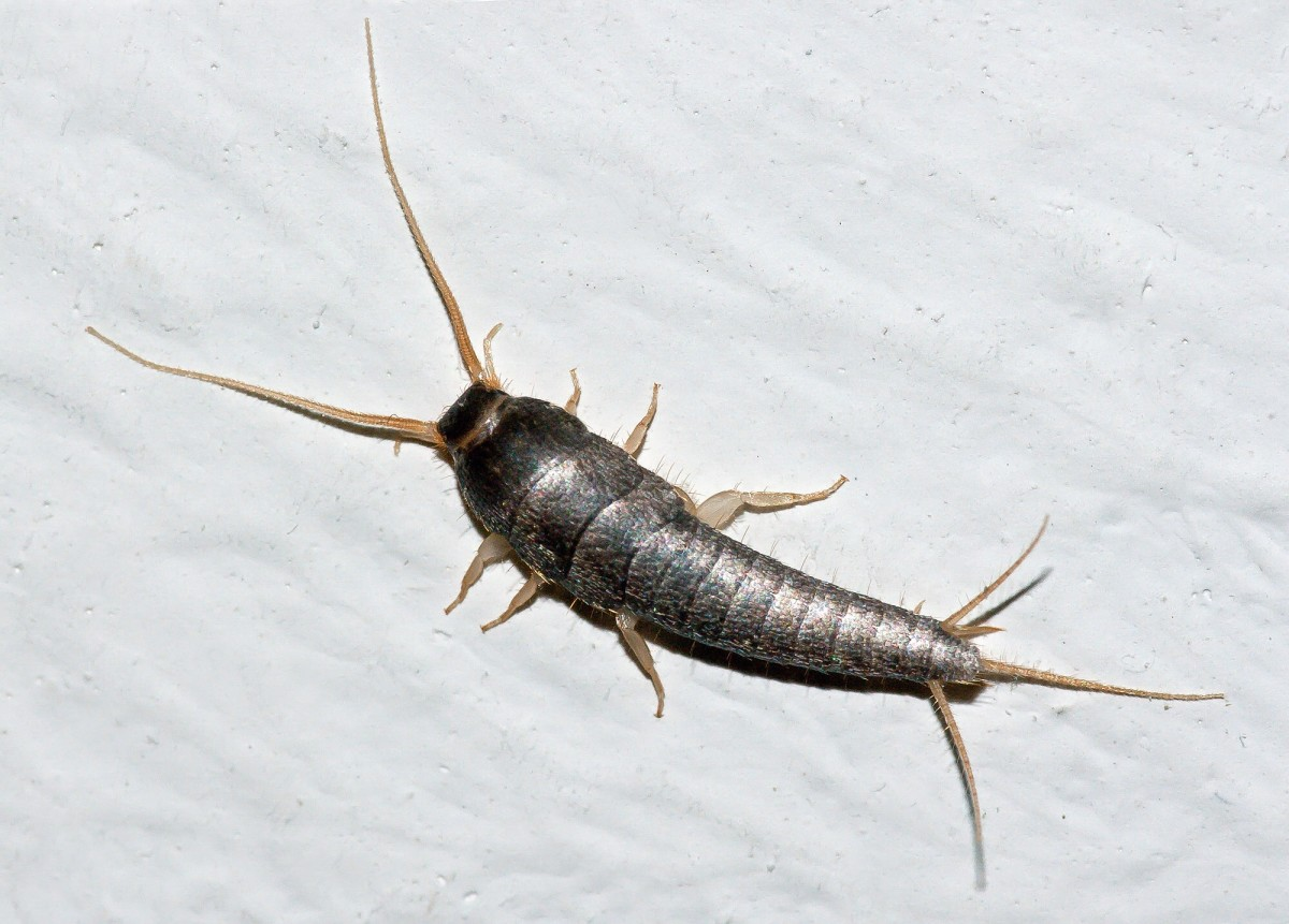 An adult silverfish has a silvery appearance.