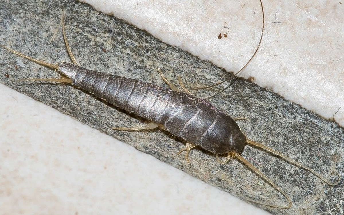 Another common silverfish