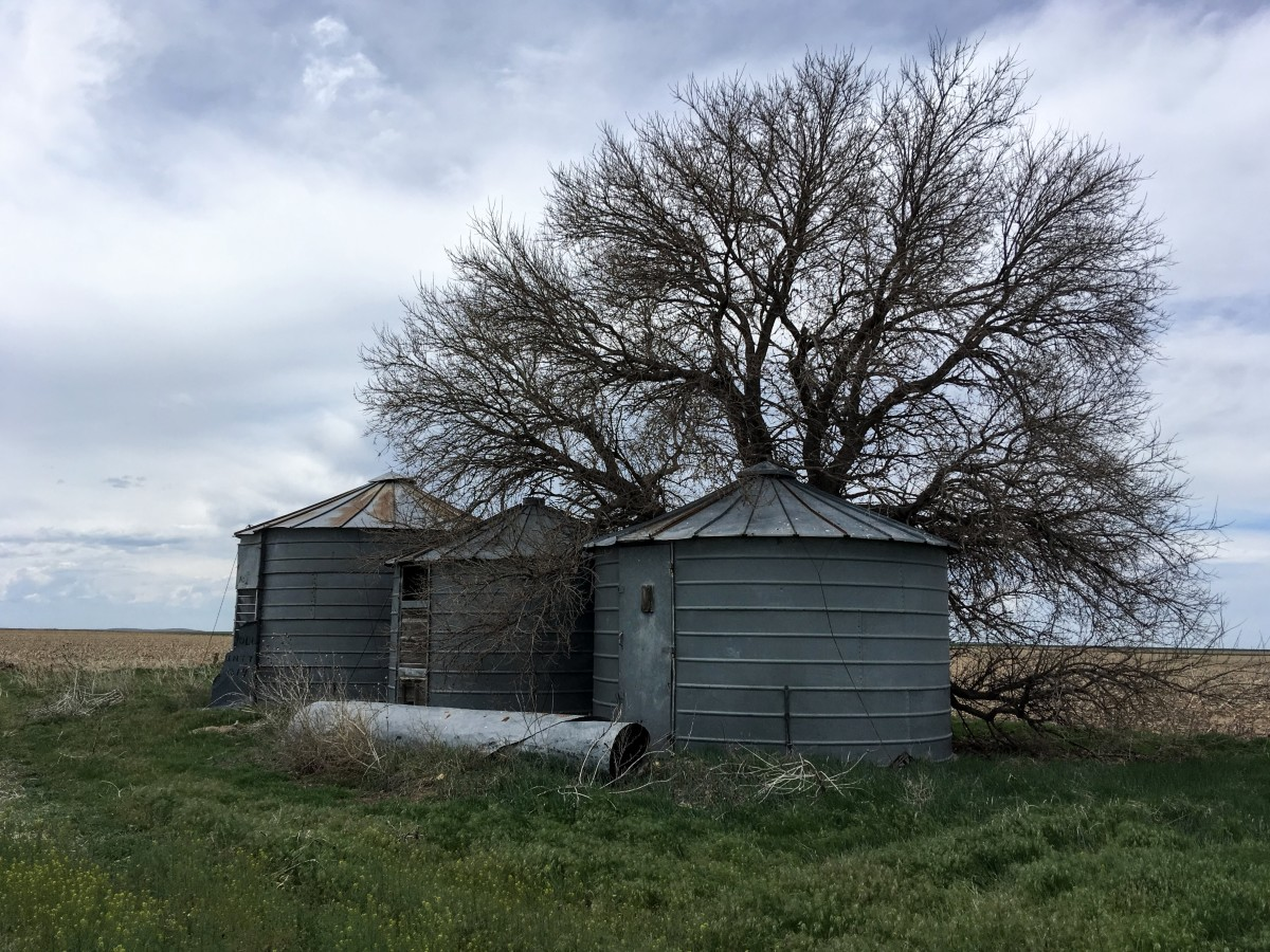 Here in Colorado, it takes elm trees like this  a full generation to grow this big.