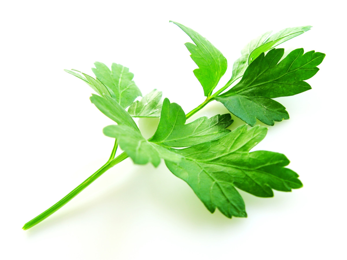 "Parsley comes in two main varieties. This photo shows the broad leaf or ""Italian"" type. Parsley also grows in a curly variety which is not as pungent as the flat."