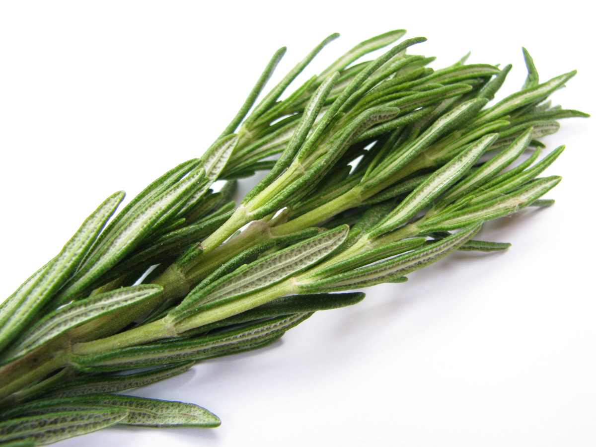 Well worth the trouble of finding a suitable spot outdoors or growing in a pot to be brought indoors for the winter, the rosemary's culinary and aromatic characteristics are parallel to none.
