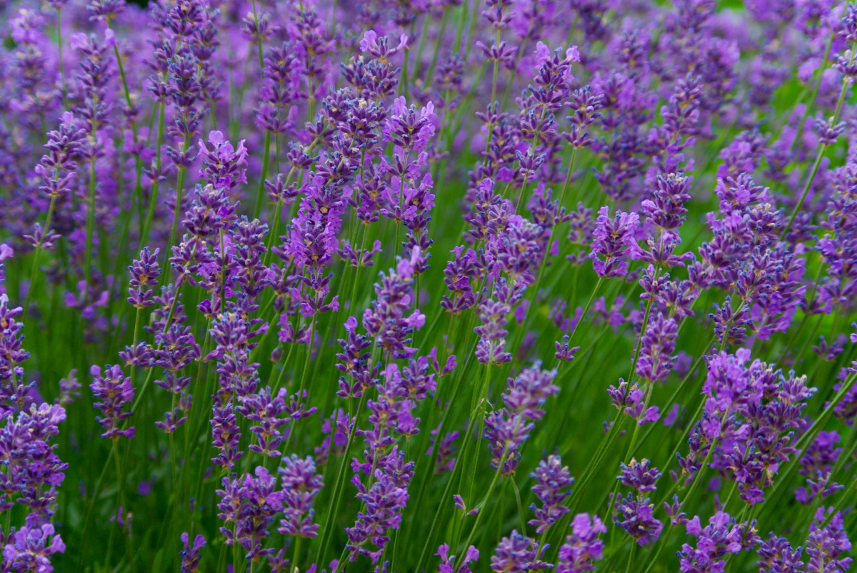 Hardy, beautiful, tasty, and aromatic lavender.