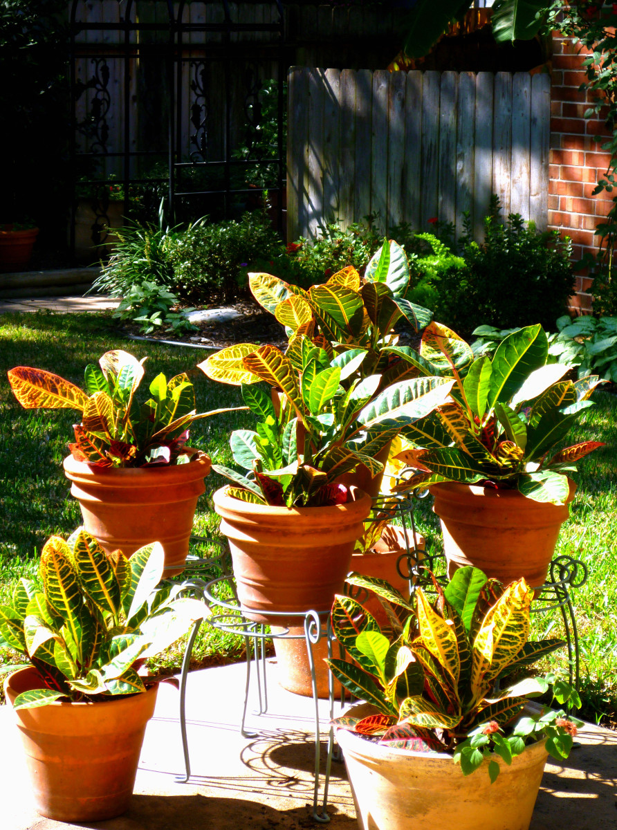 A collection  of crotons on our patio