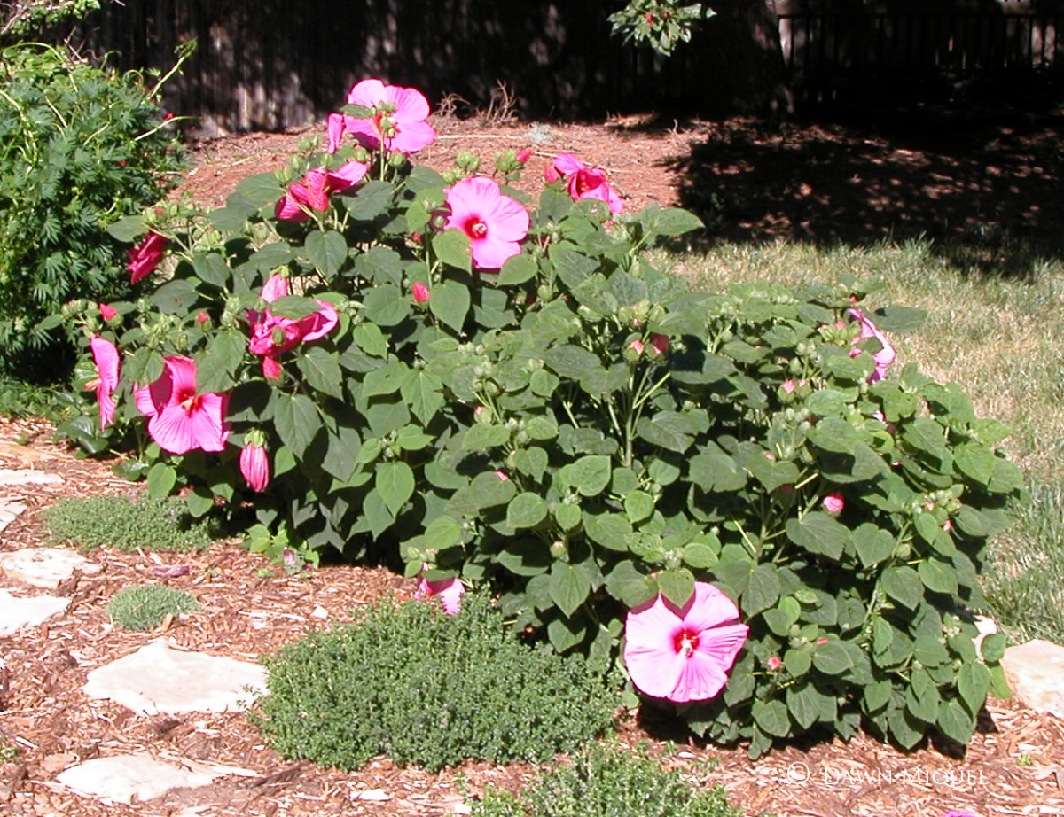 This is a hardy Hibiscus moscheutos, a non-tropical relative of the native swamp mallow from the Eastern US.  It has the largest blooms which can reach up to a foot across.