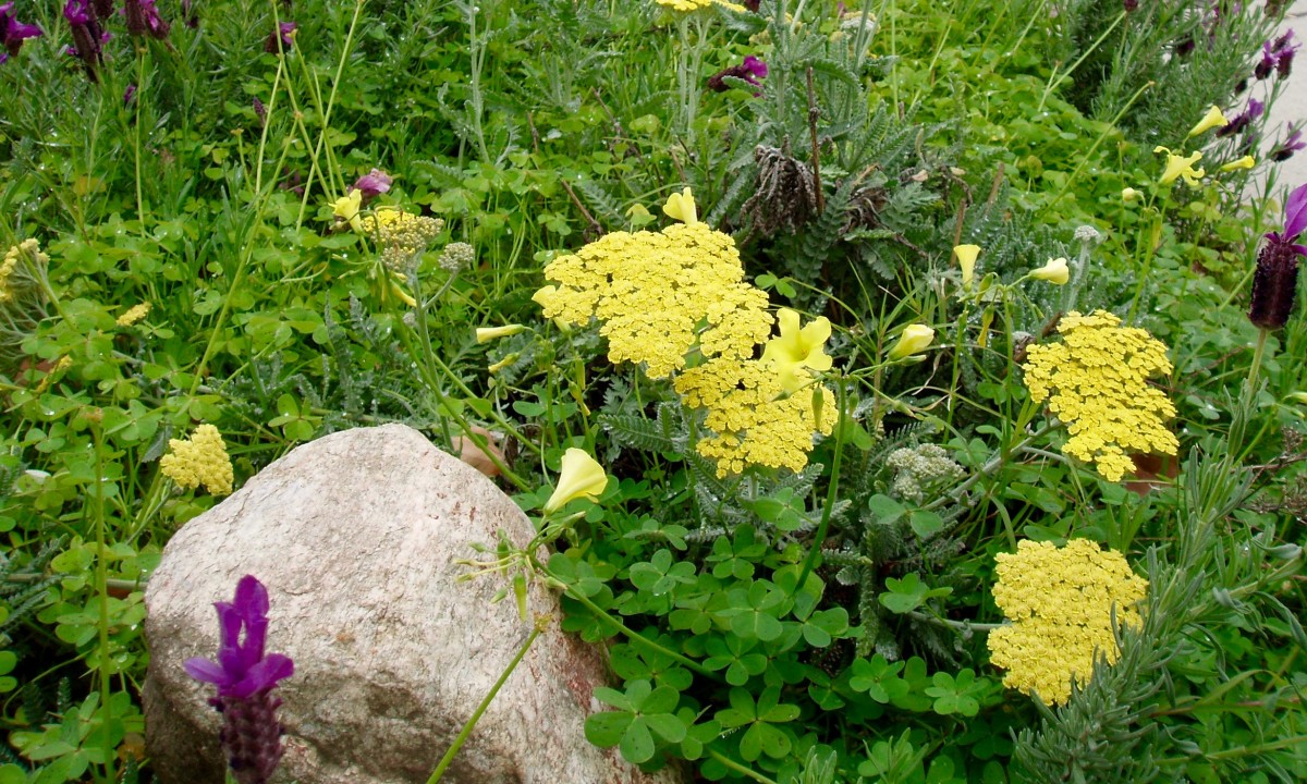 Herb garden theme with yarrow (from California), lavender (Mediterranean), and the accidental invasive weed, Bermuda buttercup (South Africa).