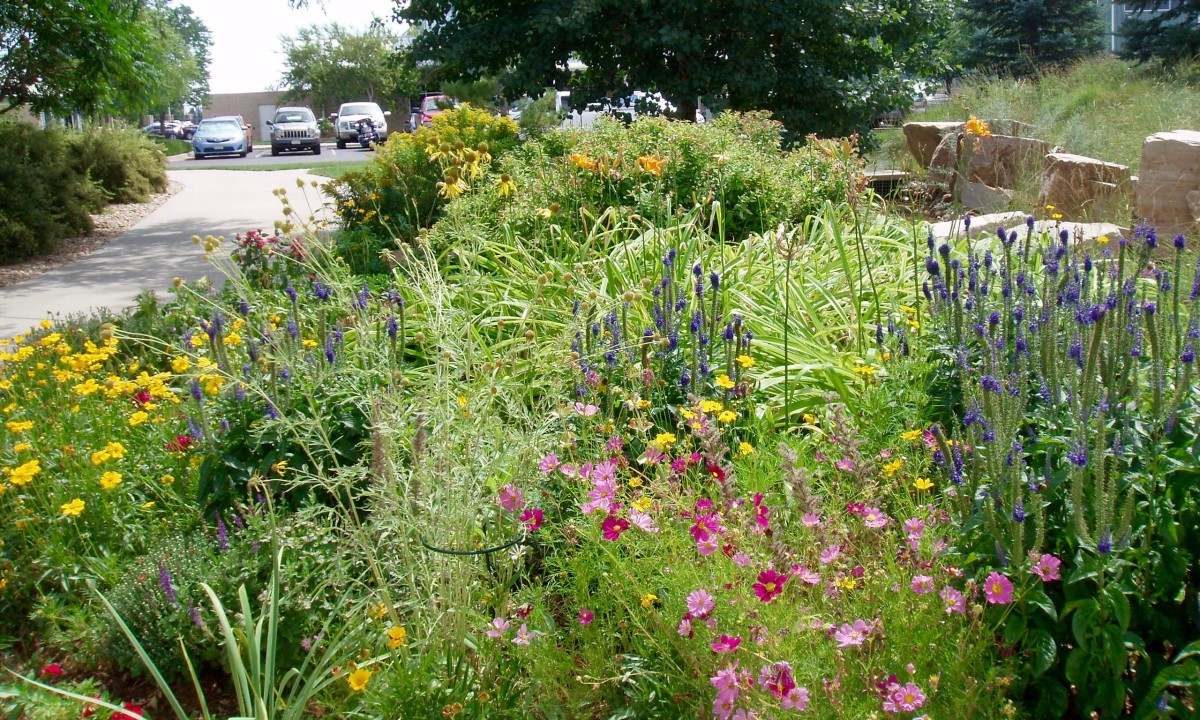 A Colorado wildflower garden, based on the English country garden style. In reality, Colorado wildflowers are spaced much further apart than they are here. Some of these grow in the mountains, some in the fields, but they are all from Colorado.