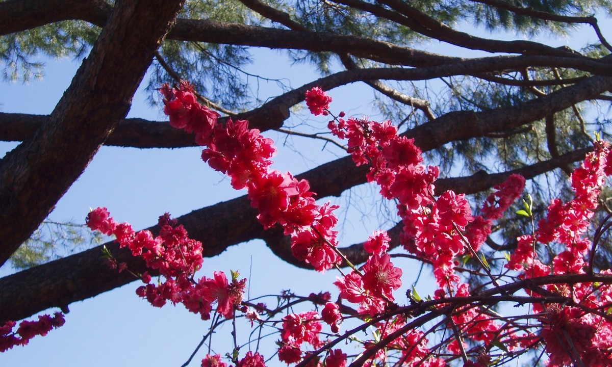 Peach, plum, cherry, orange, and many other fruit trees begin to flower in early spring.