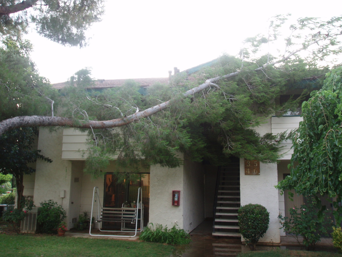 Pine branch downed by wind.