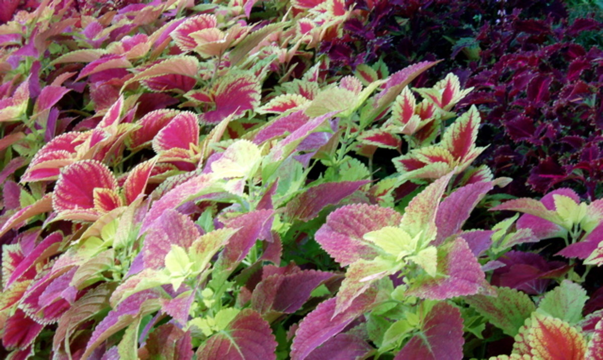 Coleus can grow higher than a person in the tropics, where humidity is high.