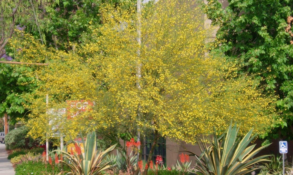 The native desert willow is a summer flowering tree popular in Southern California.