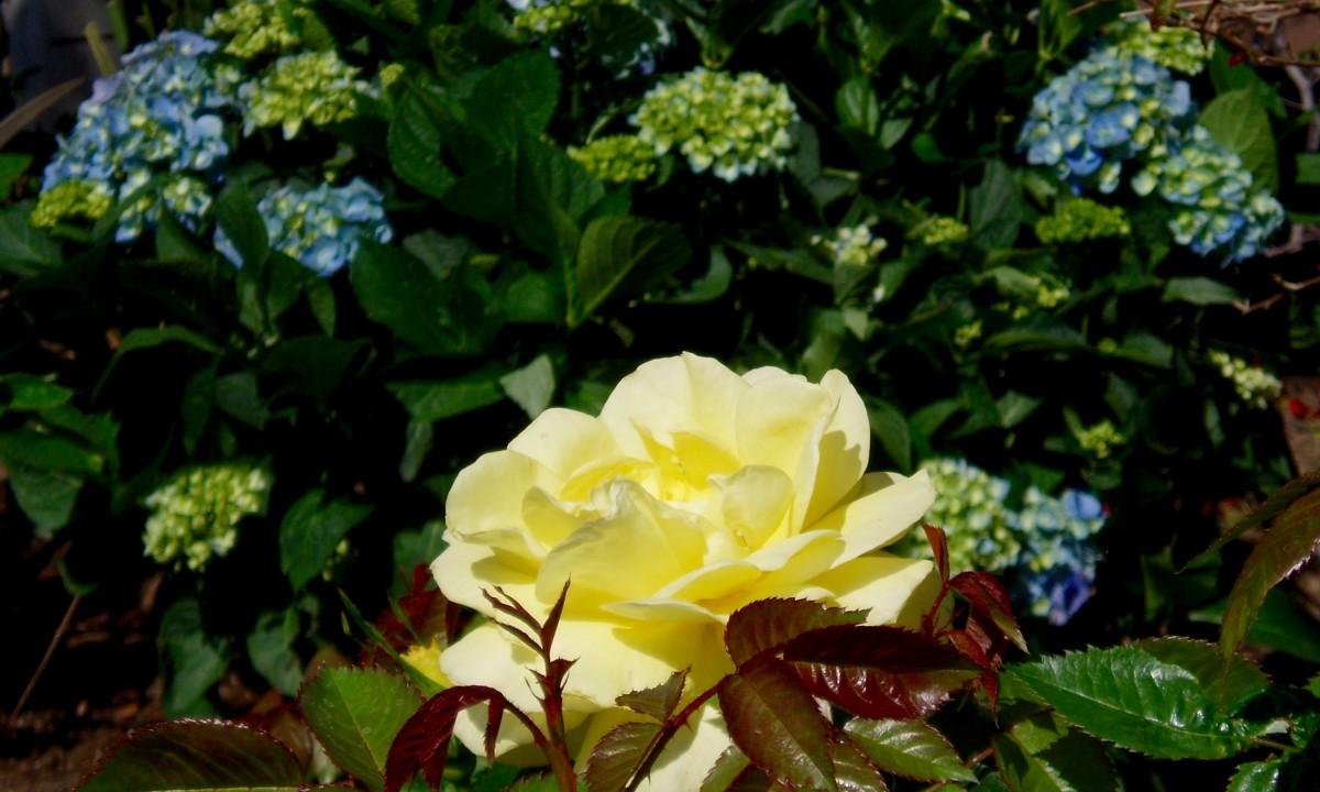 In Southern California roses need sun, hydrangeas need shade.
