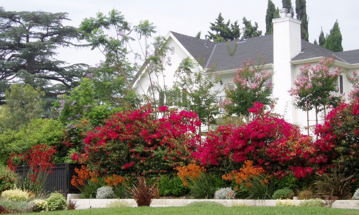Bougainvillea (red) is a huge flowering shrub. In this photo it, combined with tall trees and large lawns, fits the scale of the large houses in this semi-wealthy neighborhood.
