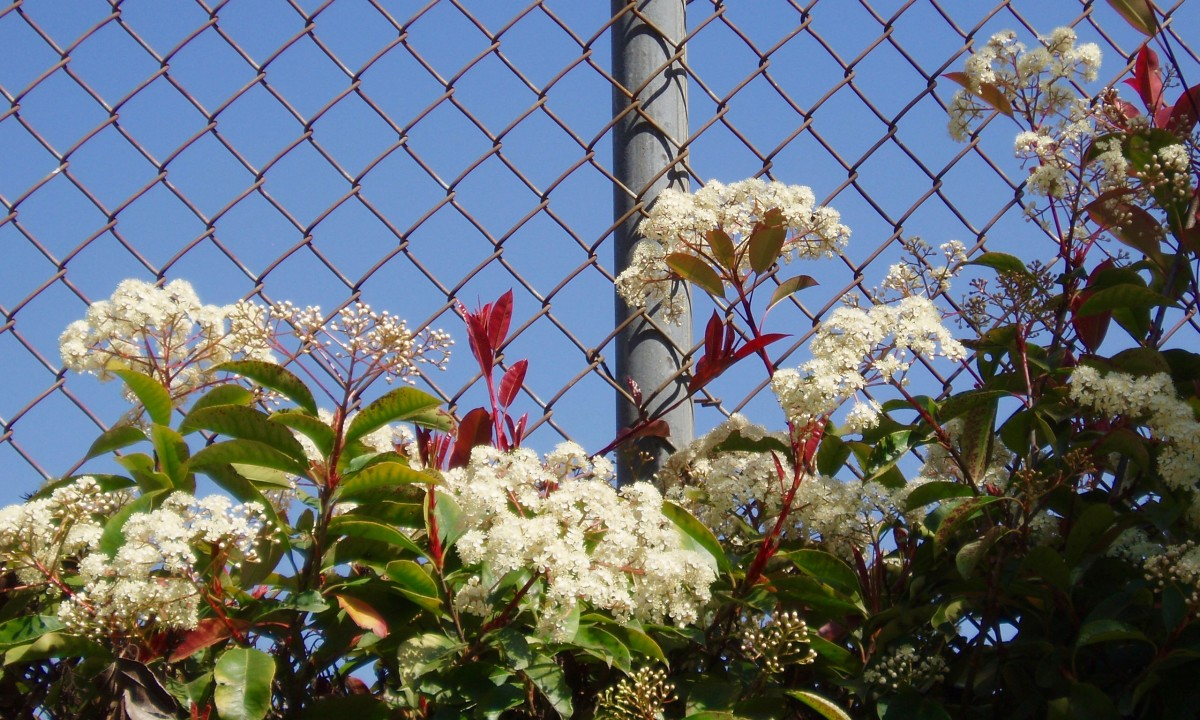 These tiny-fkowered umbrels have a fine texture that contrasts with the rough metal fence, softening its harsh effect.