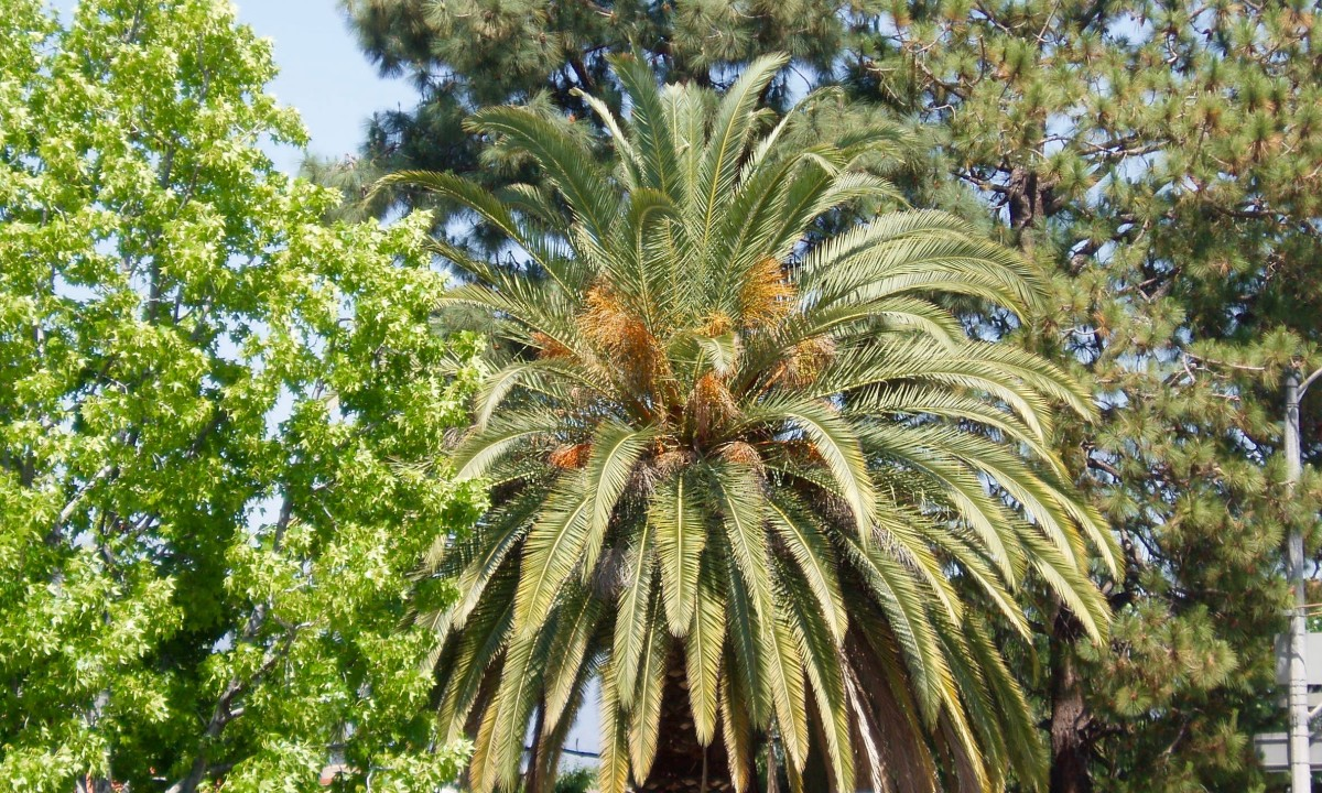This date palm is a substantially different texture from either of the trees next to it, making each of the three, together, stand out. The rounded shapes create a blend.