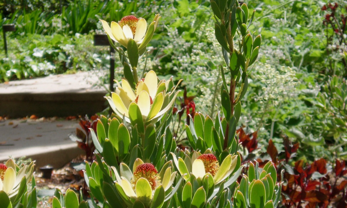 When the sun shines, this Leucadendron becomes the afternoon focal point, as its outer petals grow golden and translucent. Note how its center is enhanced by the red Wandering Jew behind it.