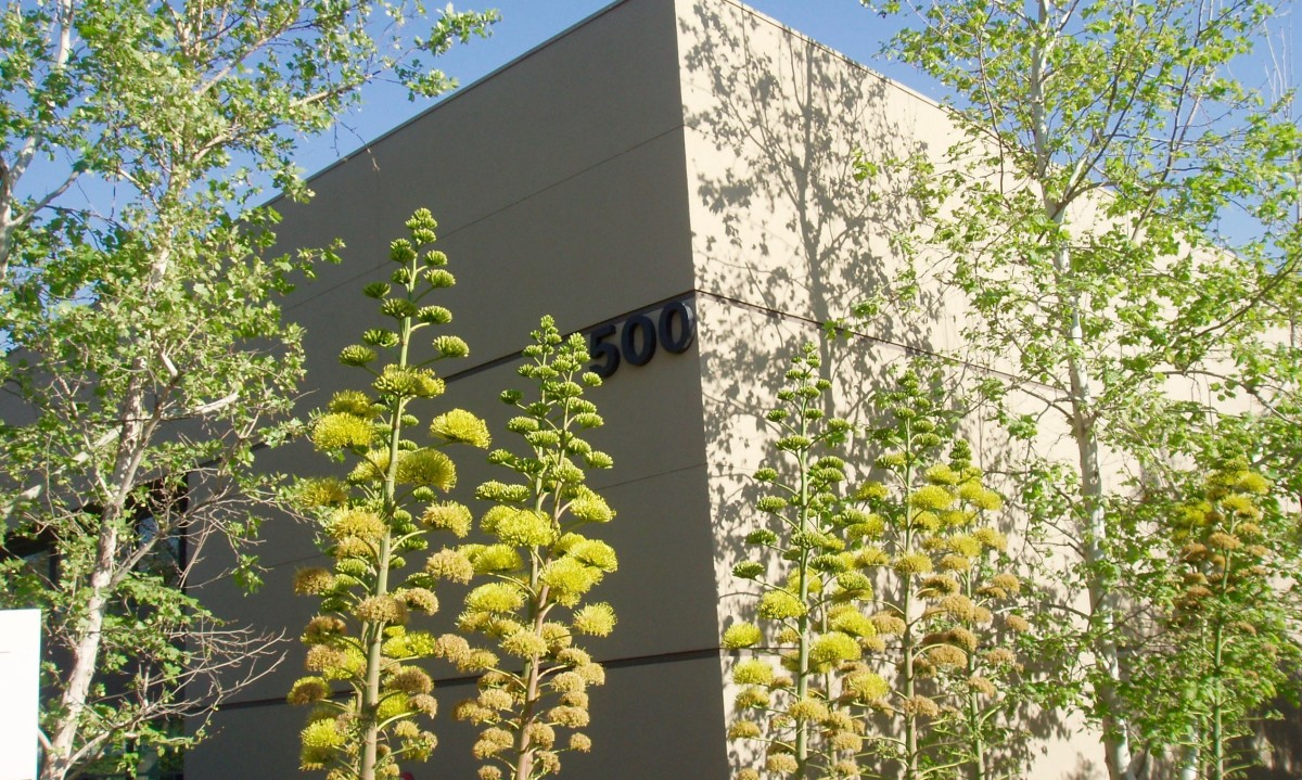 These tall agaves (Century Plant) and fine-leafed trees both soften and emphasize the upward line of the office building where they're planted.