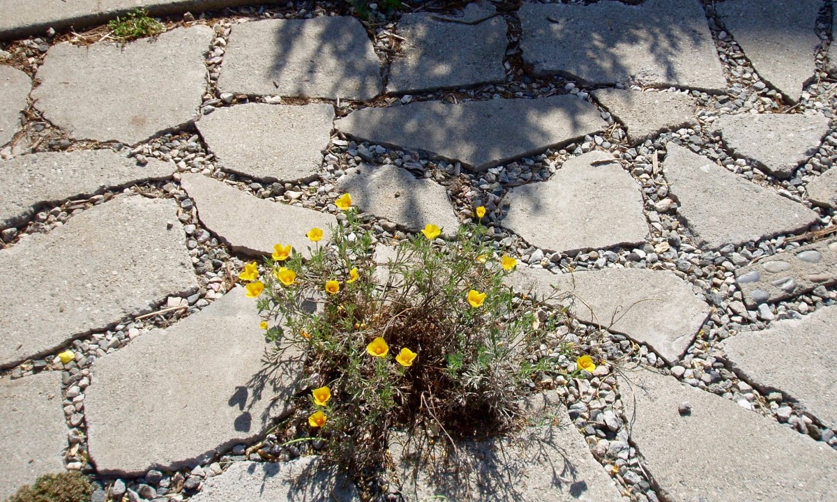 This little drought tolerant plant sits in the middle of rocks and pavers that provide a pathway between beds, while also allowing rainwater to penetrate into the soil.