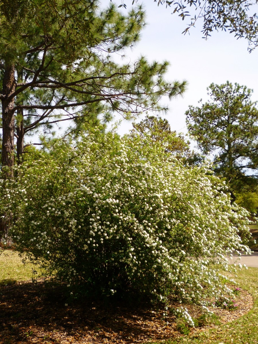 Bridal Wreath shrub in our subdivision