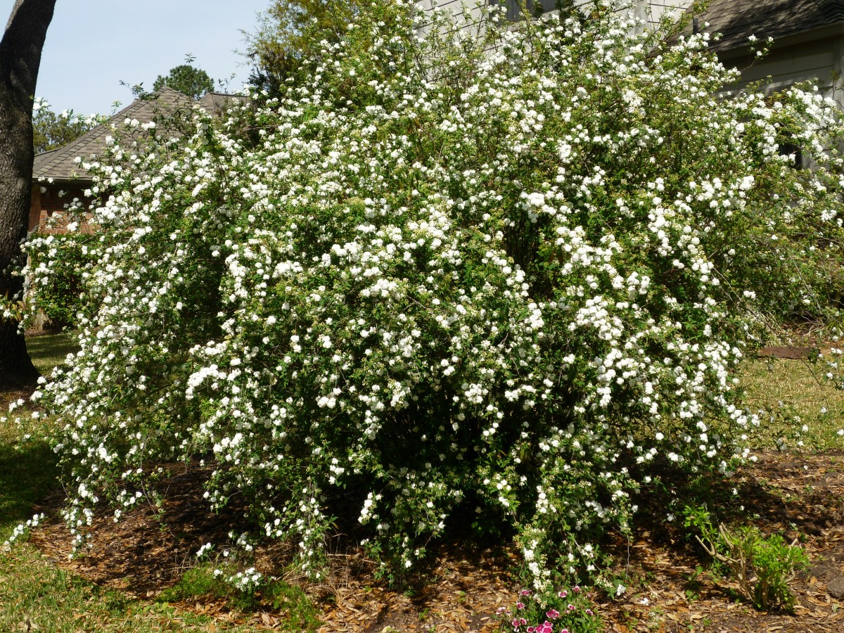 Bridal Bouquet Plant Pruning : Gallery for gt spirea bridal wreath pruning