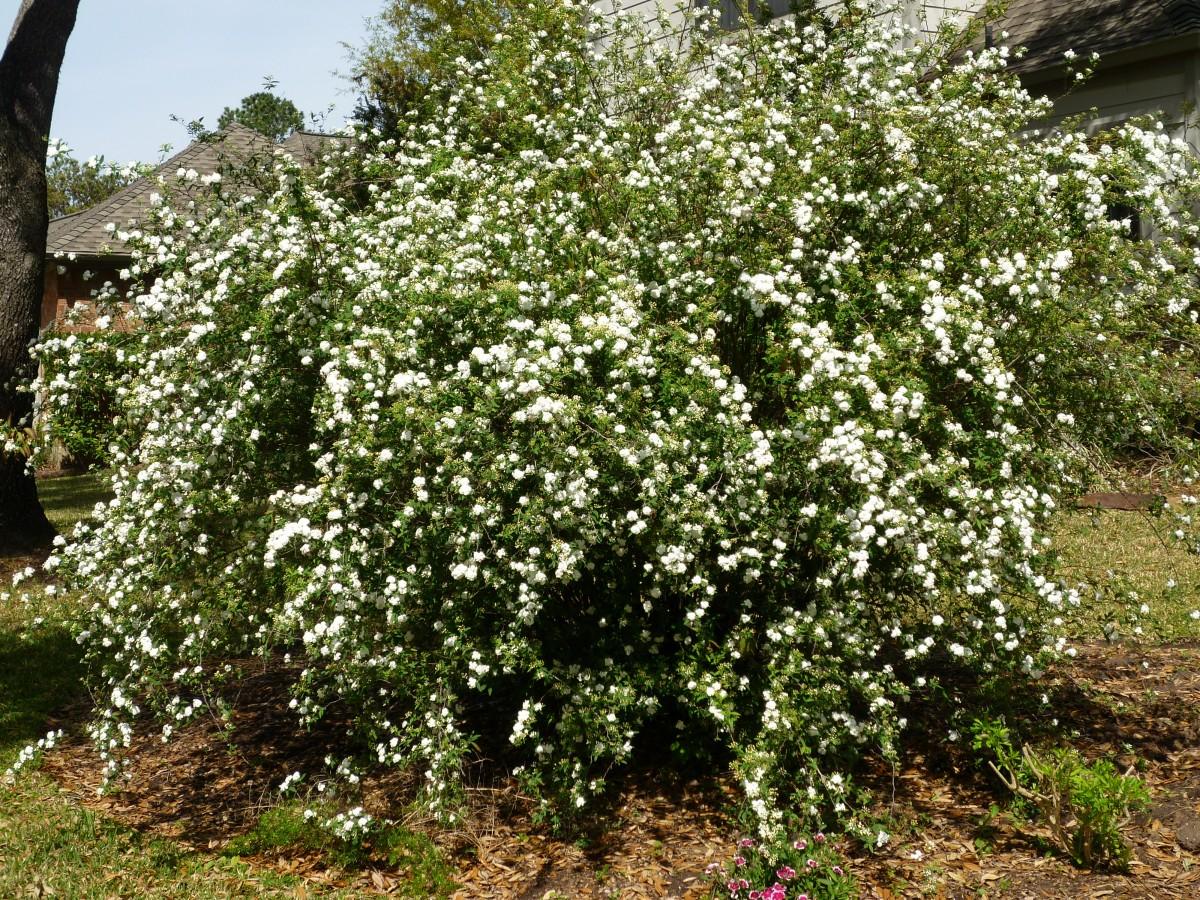 Bridal Wreath shrub in our subdivision
