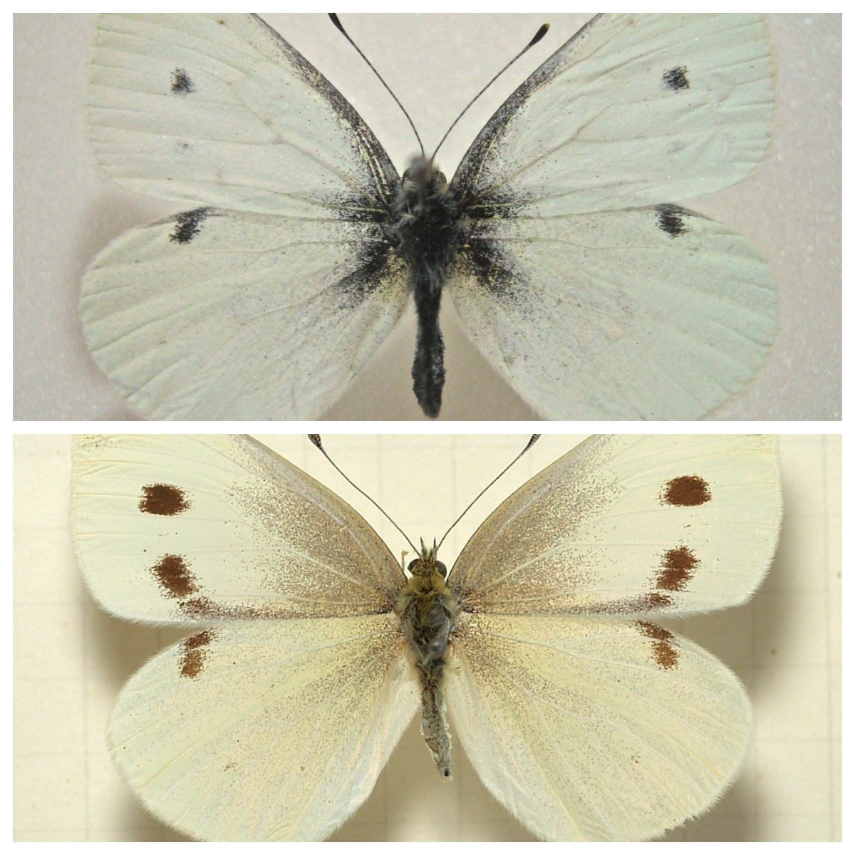 Cabbage butterflies: male (top) and female (bottom). If you see these flying around your garden, it's a sign that cabbage worms are coming (if they're not already here).