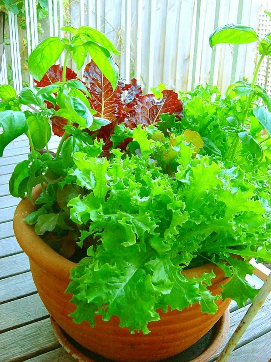 Lettuces as well as basil grow together in this planter that was seeded indoors and then moved outside.