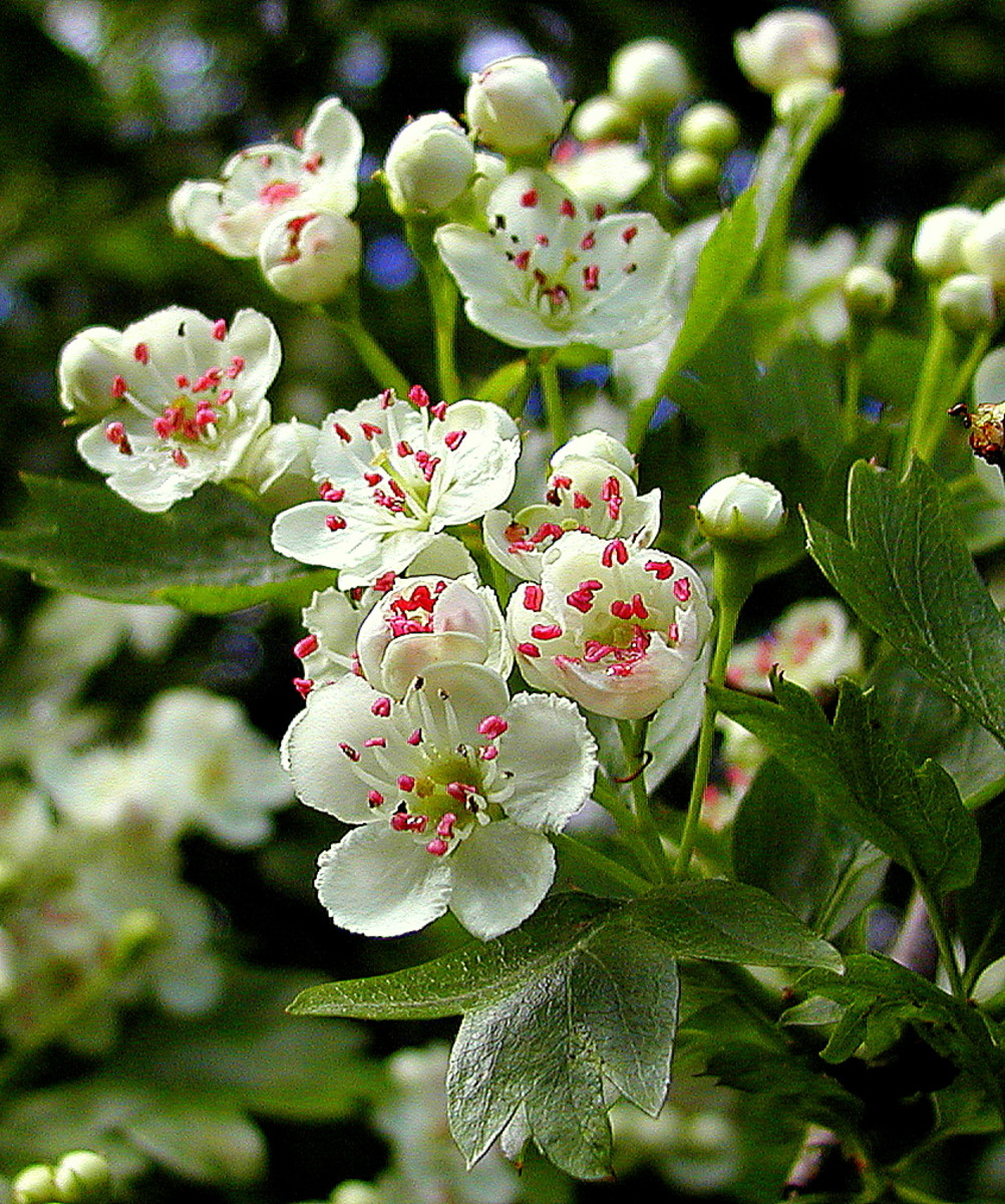 "Whitethorn, also known as hawthorn or ""Mayflower"""