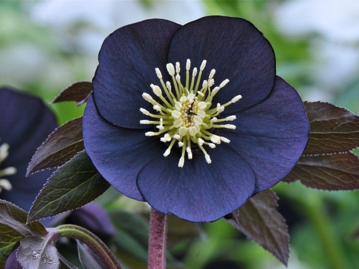 The lenten rose is beautiful in any color.  This is another hybrid called the Helleborus x hybridus.  It closely resembles the night coaster lenten rose and the black diamond lenten rose.
