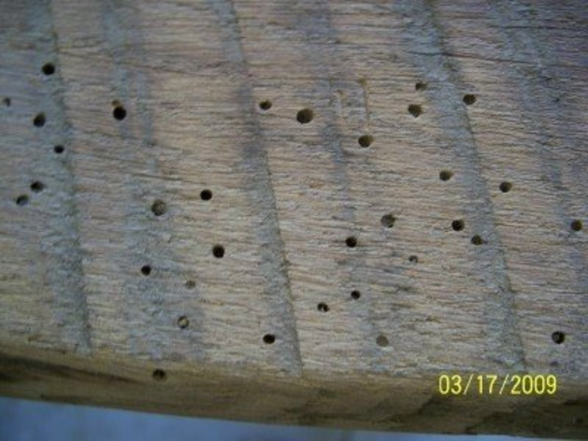 These holes were created by beetles as a source of nutrition. The beetles thrived on the rich wood and multiplied rapidly.