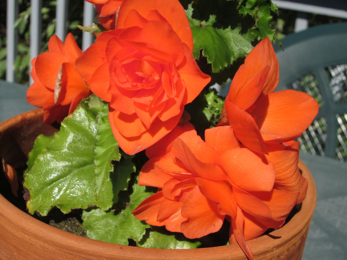 Even if you live in a warmer southern climate, it's still probably best to dig up your begonias to store the tubers over winter.
